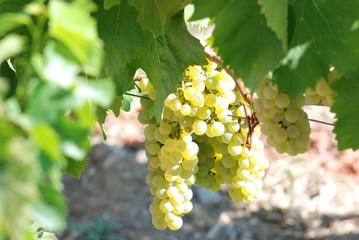 Weinreben in Kroatien