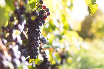 View of vineyard with ripe grapes at sunset. Ripe grapes ready for harvest in autumn. Beautiful golden evening light.