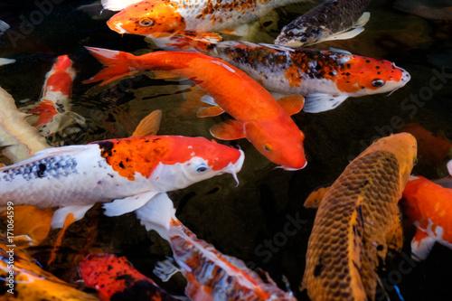 Fancy Carp Or Koi Fish Japanese Symbolic Fish Swimming In Water In