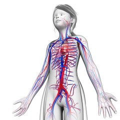 Child's circulatory system, illustration