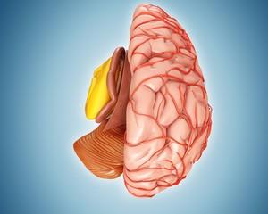 Illustration of anatomy of human brain and arteries