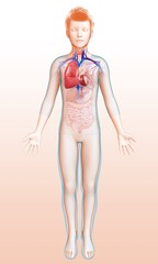 Child's heart-lung system, illustration