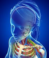 Child's anatomy, illustration