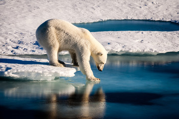 Foto op Plexiglas Ijsbeer Majestic polar bear looking into mirror