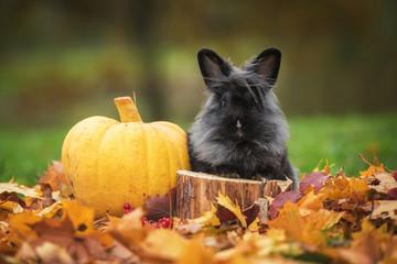 Little black rabbit with pumpkin in autumn
