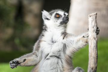 Funny ring-tailed lemur (Lemur catta). Madagascar.