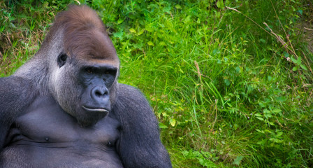 Gorilla relaxing in grass