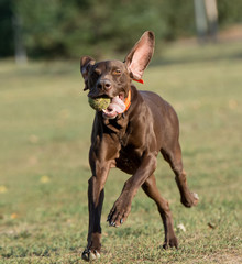 Weimaraner Dog running outside in the park. Selective focus