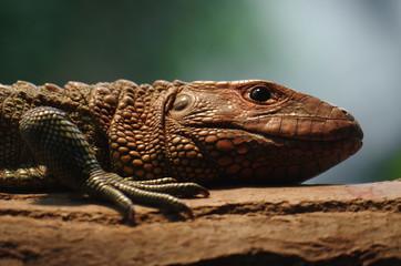 Iguane marron