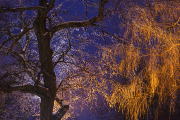 Trees - acacia and birch trees are illuminated by a lantern in the evening.