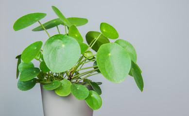 Pilea Peperomioides - Zimmerpflanzen