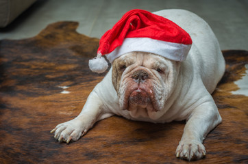 Lindo Bulldog Inglês branco vestido de papei noel