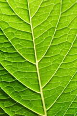 Close up Underside of Tropical Looking Green Hydrangea Leaf