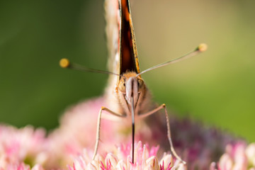 A beautiful butterfly is working on a plant