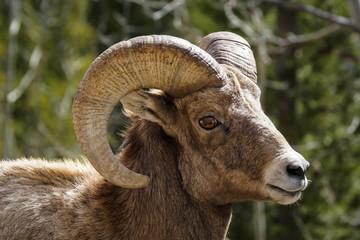 Bighorn - Ram