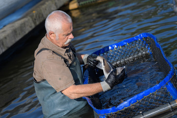 hatchery worker netting kokanee salmon