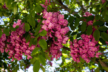 Pink Flowers on a Blooming Black Locust Tree in Early Spring