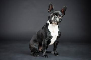 Foto auf Gartenposter Französisch bulldog Französische Schwarz Weiße Bulldoge im Studio