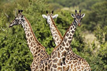 Triple Giraffe