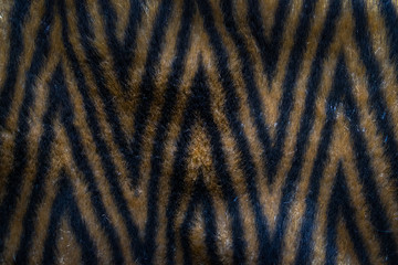 Close up an image of Natural fur, white, gray and brown color with black stripes.