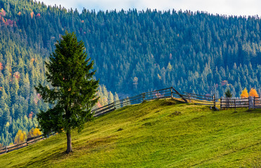 spruce tree on grassy hillside in autumn. lovely sunny afternoon in mountainous rural area