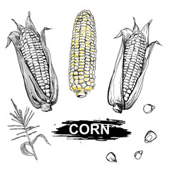 Hand drawn vector illustration set of gray scale and color corn, grain, stalk, branch. sketch. Vector eps 8