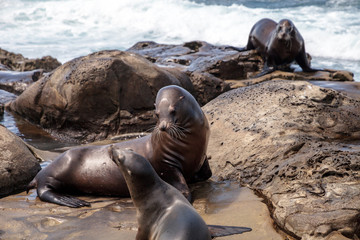 Mom and pup California sea lion Zalophus californianus