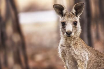 Photo sur Toile Kangaroo Eastern Grey Kangaroo (Macropus giganteus)