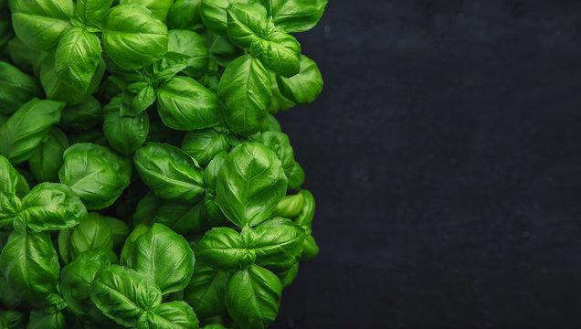 Fresh basil on a dark background. Green basil. Food background. A lot of basil