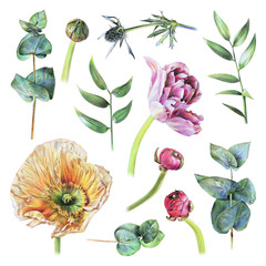Set of poppy, feverweed, tulip, buttercup buds, eucalyptus and green leaves drawn by hand with colored pencil. Spring plants and flowers. Botanical natural collection, isolated illustration on white