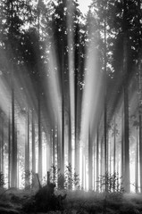 Foggy spruce forest in the morning, monochrome, black and white.