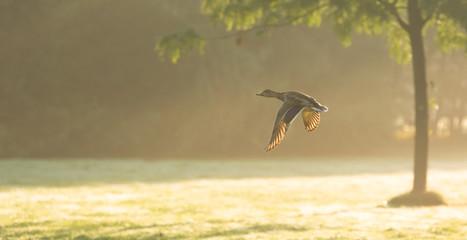 Eine fliegende Ente im Sonnenaufgang