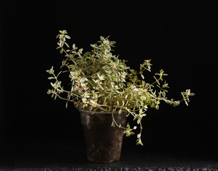 thyme in the pot