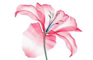 x-ray image of a flower isolated on white , the Lily