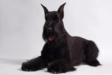 RIESENSCHNAUZER dog