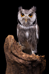 African White Faced Owl on black