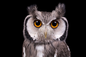 African White Faced Owl closeup