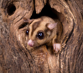 Closeup of a Sugar Glider squirrel