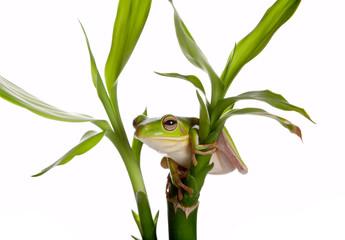 Tree frog on bamboo