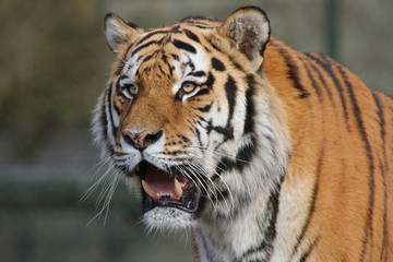 Sibirische Tiger (Panthera tigris altaica), Amurtiger, Ussuritiger, Portrait