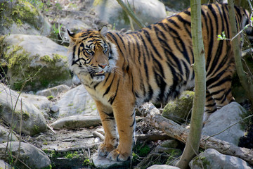Sumatra-Tiger (Panthera tigris sumatrae) am Wasser