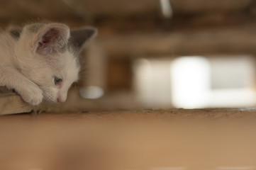 Kitten behind boards