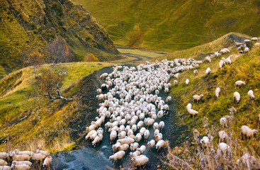 a large herd of sheep returns on a mountain road from pasture to farm