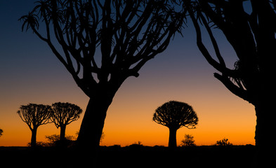 Quivertree at sunset in Keetmanshoop in Namibia