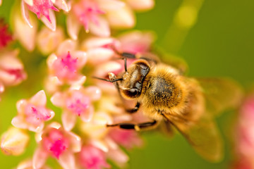 Biene auf großer Fetthenne