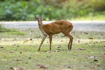 Barking deer, Muntja
