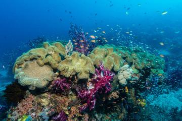 Weichkorallen an einem gesunden Korallenriff