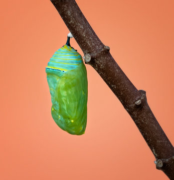 Fresh formed Monarch chrysalis or pupa attached to a milkweed branch