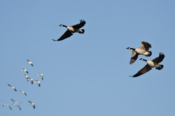 Three Canada Geese Flying with the Snow Geese in a Blue SKy