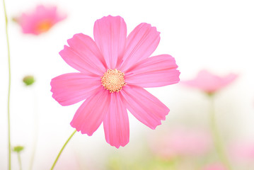 Close up and over exposure of pink cosmos flowers blooming in pastel color , soft and blurred background.